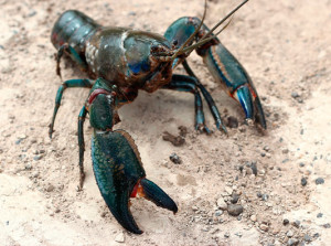 Yabby on ground
